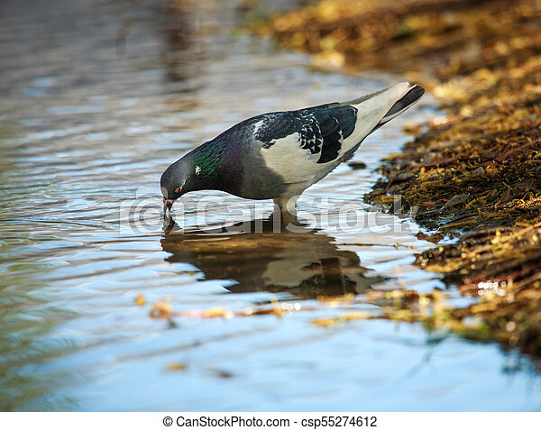 Dove in city spring park by the pond, bird pigeon outdoors - csp55274612