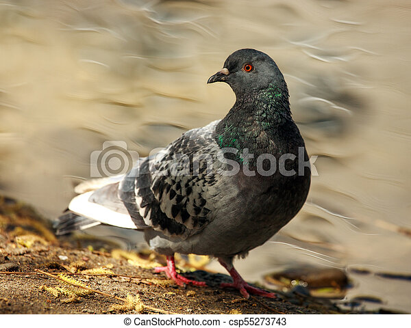 Dove in city spring park by the pond, bird pigeon outdoors - csp55273743