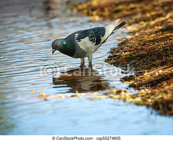 Dove in city spring park by the pond, bird pigeon outdoors - csp55274605