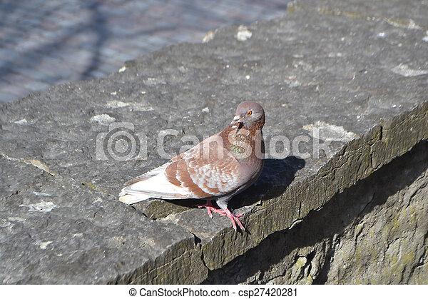 Dove on city street. - csp27420281