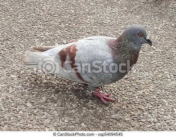 Dove on Pathway! - csp54094545
