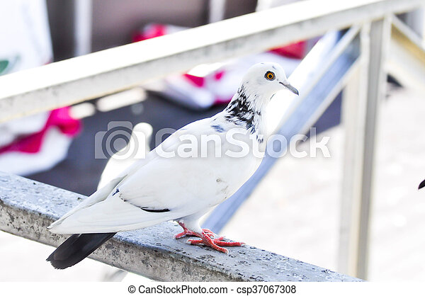 dove on the fence - csp37067308