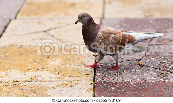 Dove on the sidewalk in the city - csp55738169