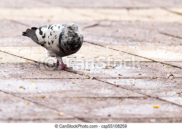 Dove on the sidewalk in the city - csp55108259