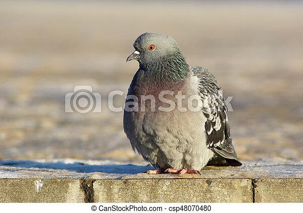 Dove on the sidewalk - csp48070480