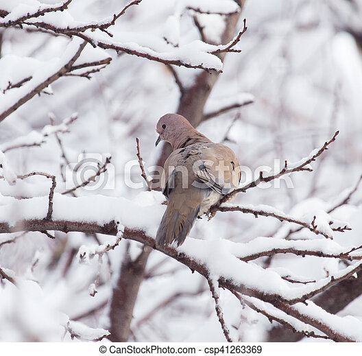 dove on the tree in winter - csp41263369