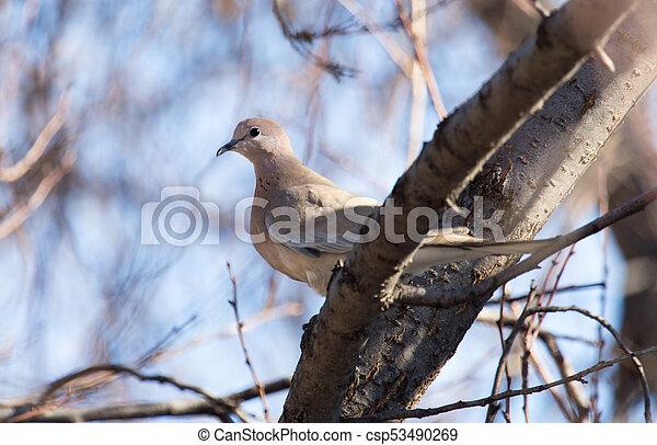 dove on the tree in winter - csp53490269