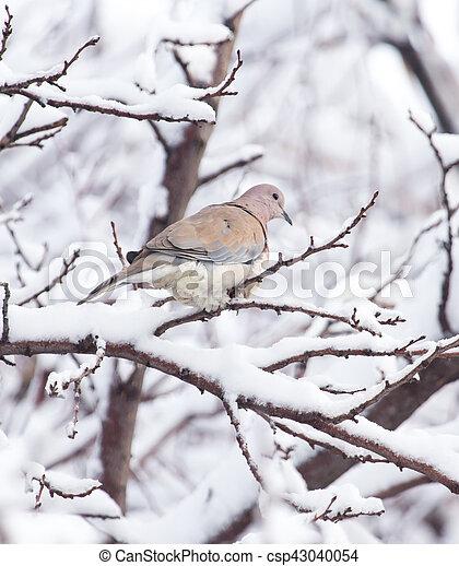 dove on the tree in winter - csp43040054