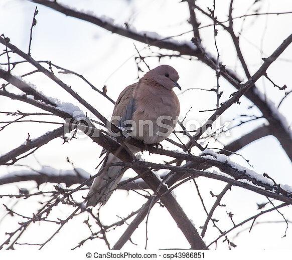 dove on the tree in winter - csp43986851