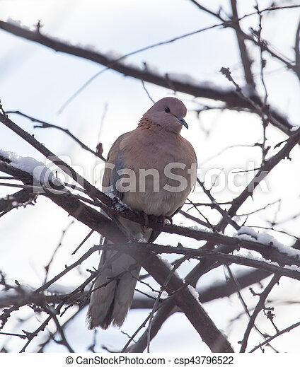 dove on the tree in winter - csp43796522