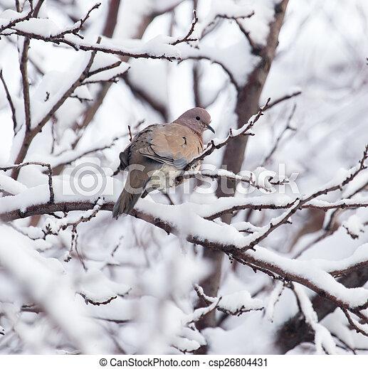 dove on the tree in winter - csp26804431