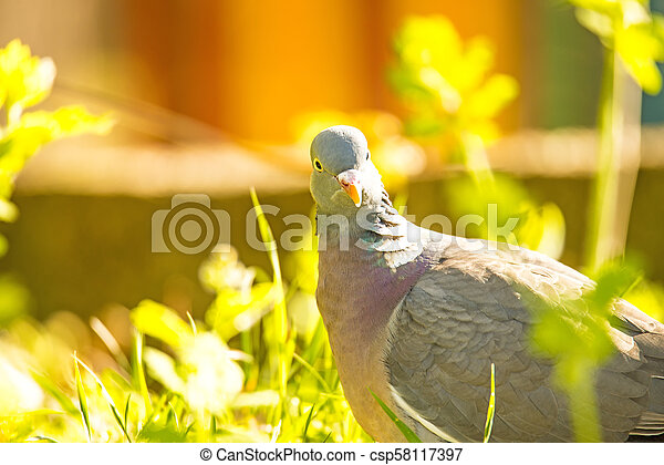 dove sitting in a meadow - csp58117397
