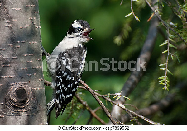 Downy Woodpecker Calling Out - csp7839552