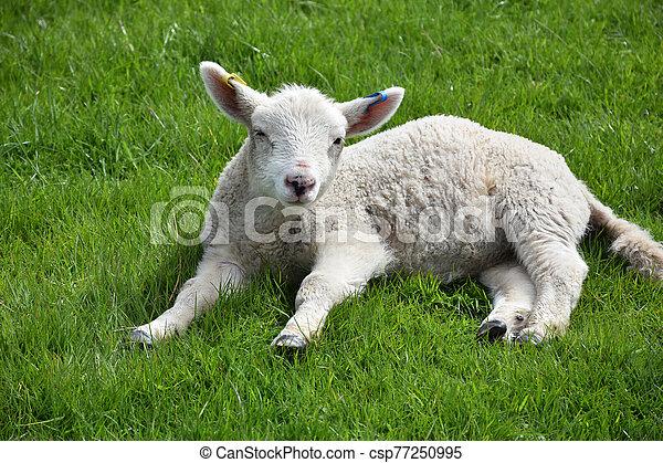 Dozing White Lamb Resting in a Grass Field - csp77250995