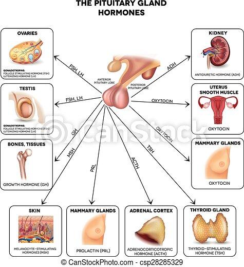 Drüse, pituitär, hormone. Schöne , influenced, illustration., bunte ...