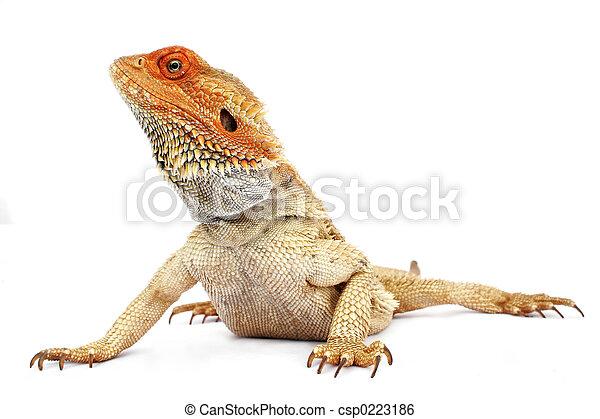 dragón barbudo - csp0223186