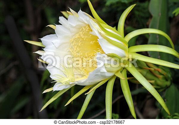 Dragon fruit flower large beautiful white dragon fruit flower on dragon fruit flower csp32178667 mightylinksfo