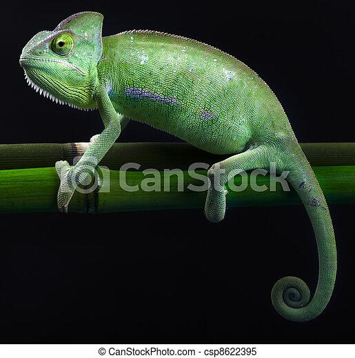 Dragon, Green chameleon - csp8622395