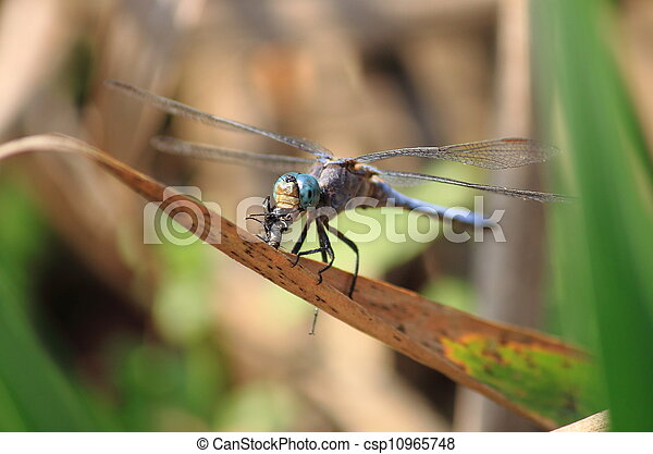 Dragonfly eating a fly - csp10965748