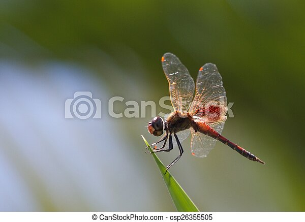 Dragonfly on Yucca - csp26355505