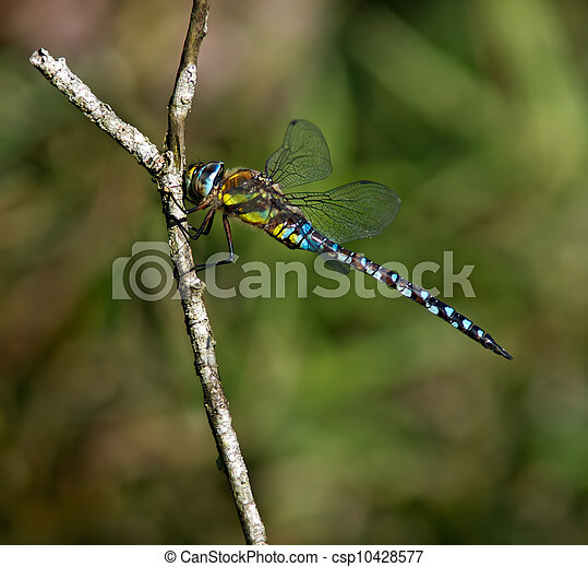 Dragonfly - csp10428577