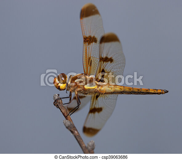 Dragonfly - csp39063686