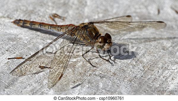 dragonfly - csp10960761