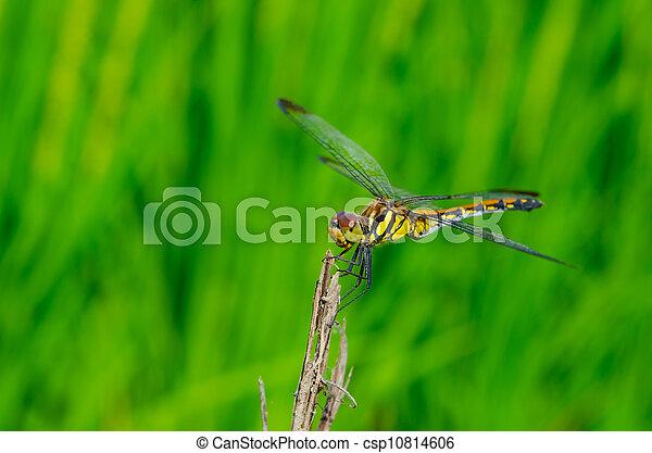 dragonfly - csp10814606