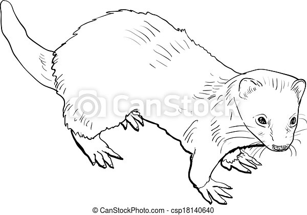 Drawing of ferret - csp18140640