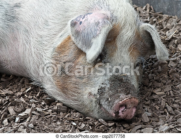 Dreckschwein