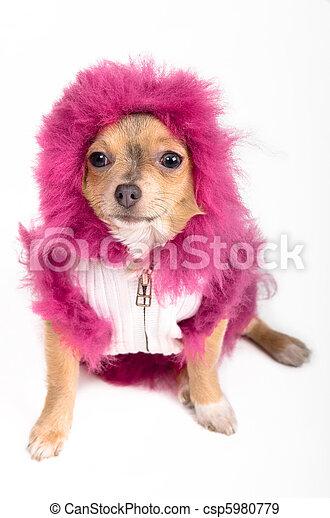 Dressed Chihuahua - csp5980779