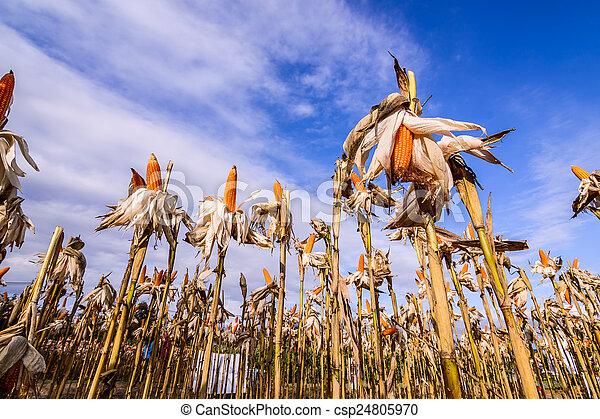 Dried corn in a corn field - csp24805970