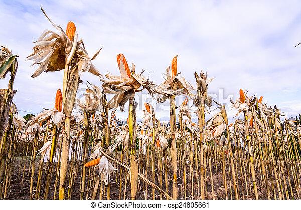 Dried corn in a corn field - csp24805661