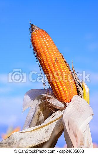 Dried corn in a corn field - csp24805663