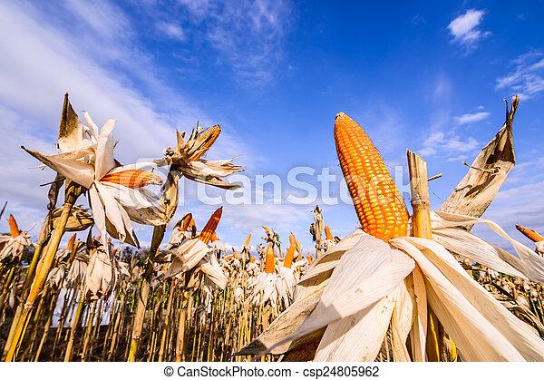 Dried corn in a corn field - csp24805962