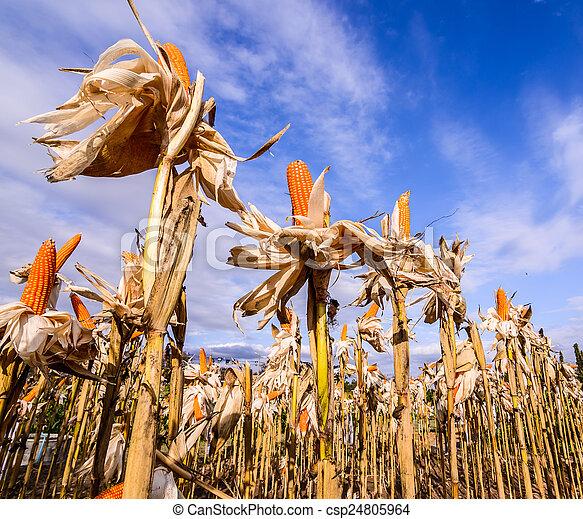 Dried corn in a corn field - csp24805964