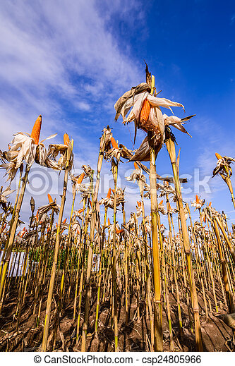 Dried corn in a corn field - csp24805966