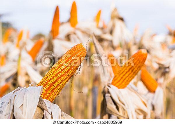 Dried corn in a corn field - csp24805969