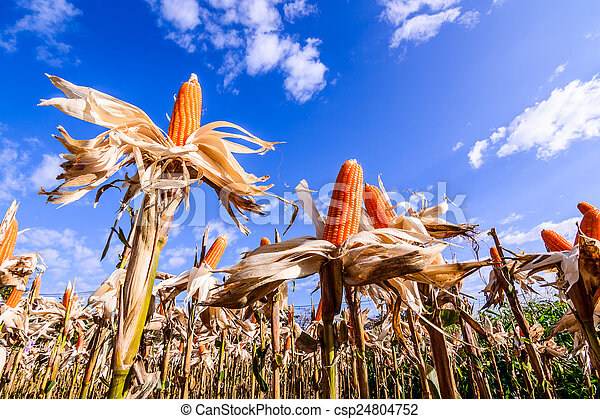 Dried corn in a corn field - csp24804752