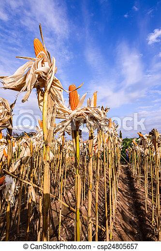 Dried corn in a corn field - csp24805657