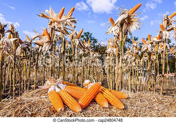 Dried corn in a corn field - csp24804748