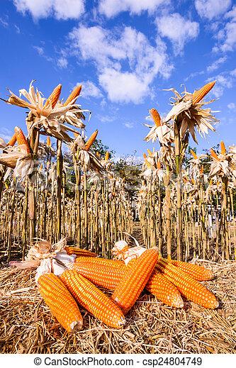 Dried corn in a corn field - csp24804749