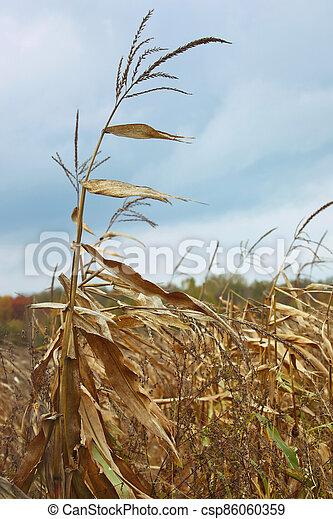 Dried corn stalk in cold autumn wind - csp86060359