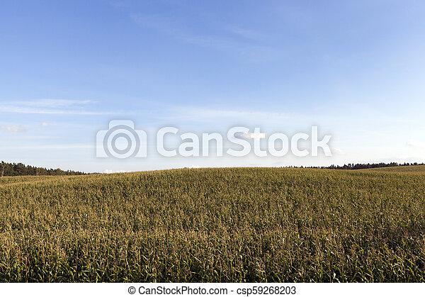 dried corn - csp59268203