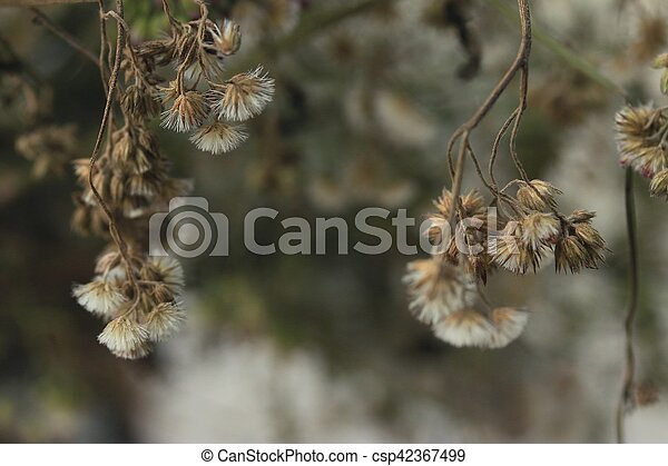 dried flowers - csp42367499