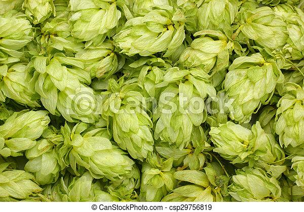 Dried hop cones - csp29756819