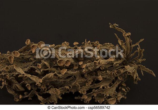 Dried ramalina fraxinea or cartilage lichen closeup - csp56589742