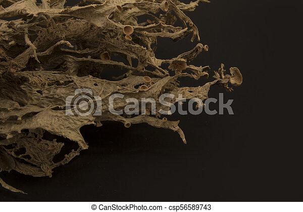 Dried ramalina fraxinea or cartilage lichen closeup - csp56589743