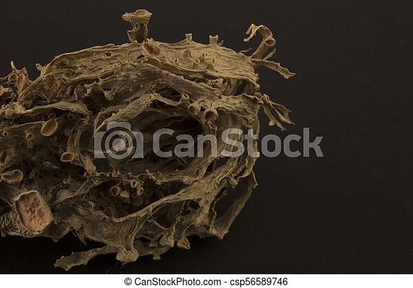 Dried ramalina fraxinea or cartilage lichen closeup - csp56589746