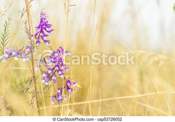 Dried yellow grass and gentle blue flowers in the field on a sunny day. Shallow depth of field - csp53726052